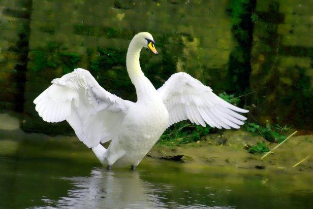 swan___open_wings_by_l0ft-d392kq0.jpg